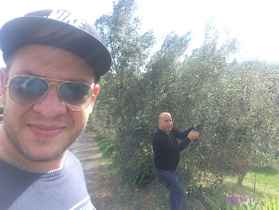 Trattoria alla Toscana: Today we were out harvesting fresh local olives for our restaurant .