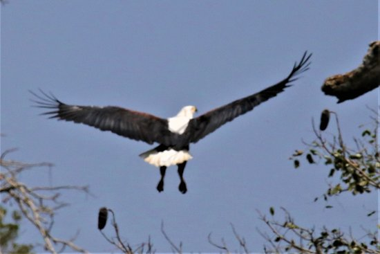 Shimba Hills National Reserve, Kenya: AFRICAN FISH EAGLE
