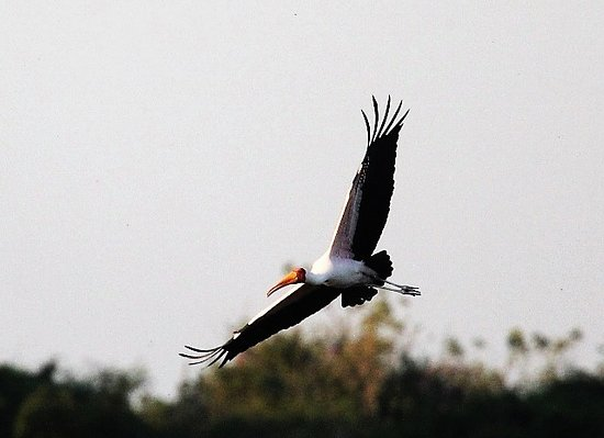Shimba Hills National Reserve, Quênia: YELLOW BILLED STORK
