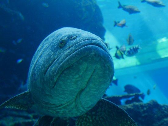 Okinawa Churaumi Aquarium: 大きなクエ。第迫力の写真がたくさんとれます