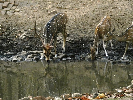 Pench Tiger Reserve: Cheetal Stag and Does