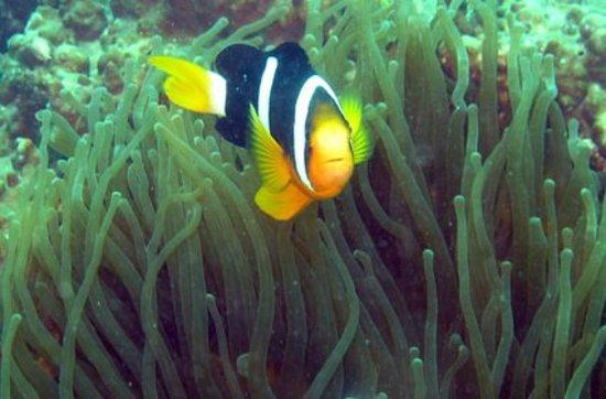 Scuba Lanka: Clown fish