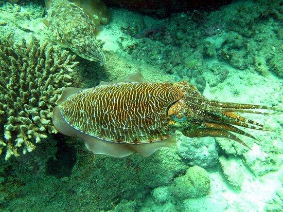Scuba Lanka: Cuttle fish!
