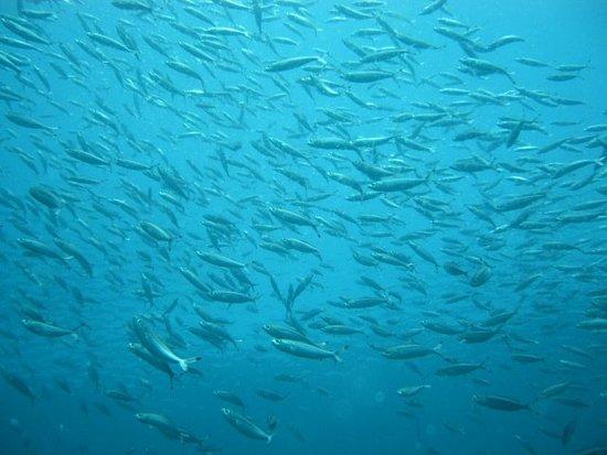 Scuba Lanka: Huge shoals of fish ...