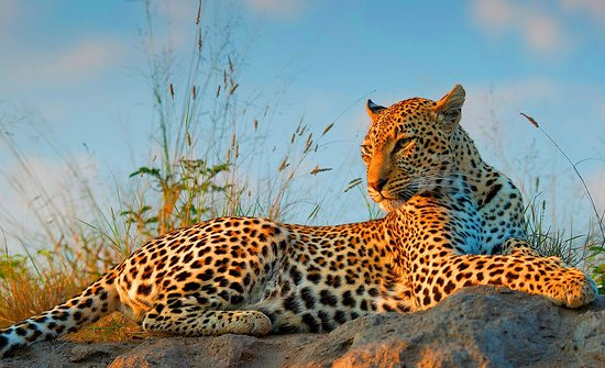Camps Bay, South Africa: The magnificent leopard is one of the Big 5, and a popular sighting on Safari