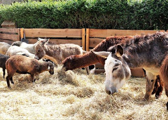 Dumont Quarter: Chèvre, lama, poney.