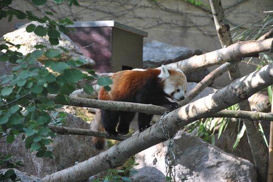 Bristol Zoo Gardens: panda rosso