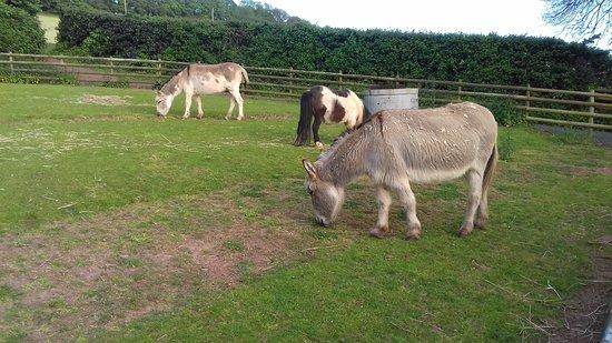 Cofton Holidays: Donkeys near wooded area