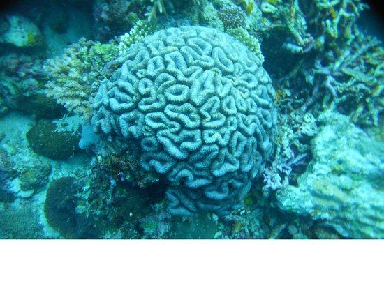 Pescador Island: Joli Corail Cerveau