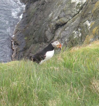 Shetland Seabird Tours : Up close and personal with a puffin in Scotland.