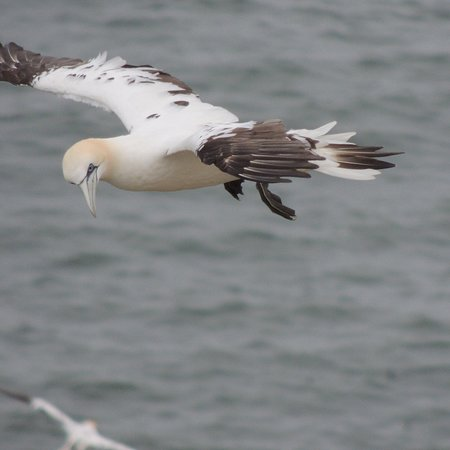 RSPB Bempton Cliffs Photo