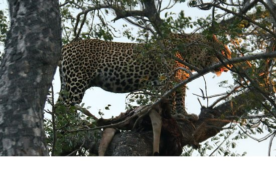 Leopard Hills Private Game Reserve, Zuid-Afrika: Leopard with kill