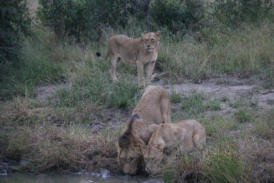Leopard Hills Private Game Reserve, Sudafrica: Lions at water hole