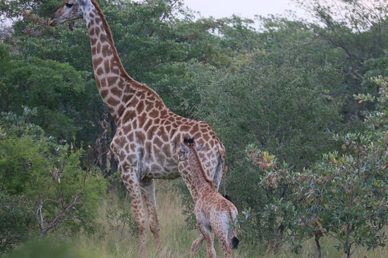 Leopard Hills Private Game Reserve, South Africa: Giraffe baby