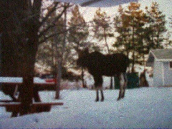 Columbia Falls, Montana: Moose in the Park