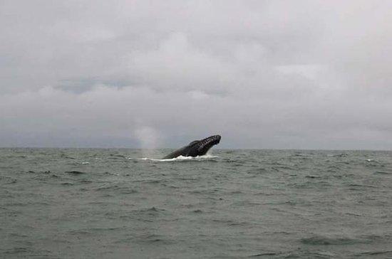Observação de baleias (Avistamiento...