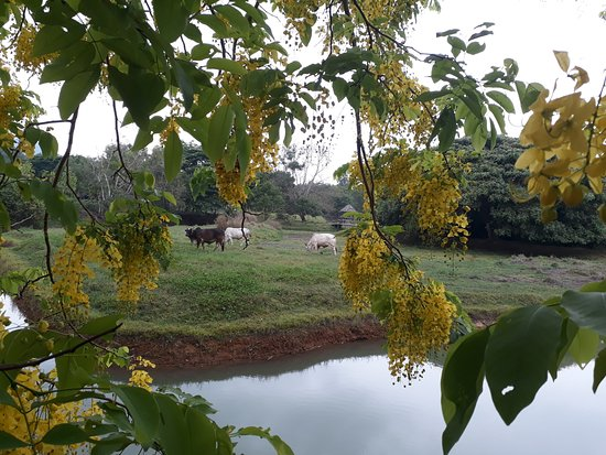 Faasai Resort & Spa: Cows grazing at White Water Lake our organic farm and nature sanctuary which our guests can visi