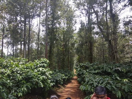 Club Mahindra Virajpet, Coorg: Coffee and Pepper Plantation