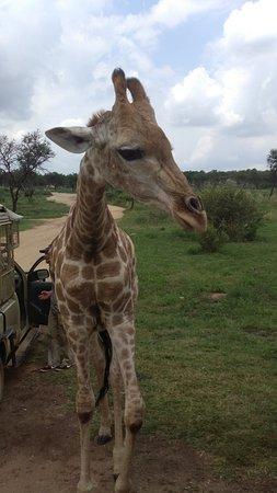 Lion and Safari Park: Jirafa caminando a nuestro lado