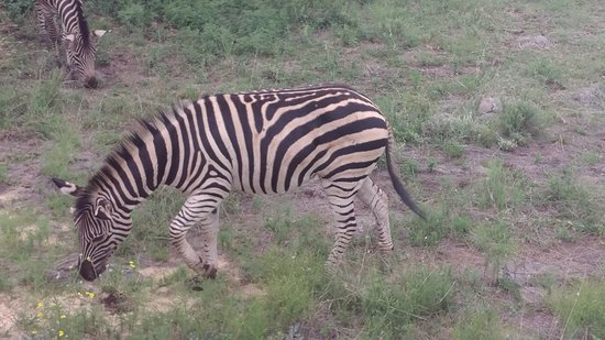 Lion and Safari Park: cebras por doquier