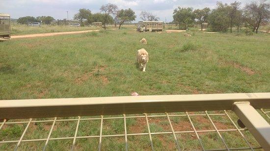 Lion and Safari Park: alimentando leones