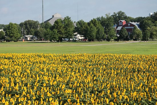 Agricenter International RV Park: Walk to our sunflowers from the RV Park in the summer!