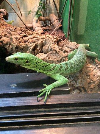 Brize Norton, UK: Green tree lizard.