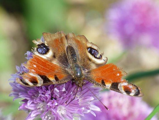 Hautes-Pyrenees, Francja: Un papillon sur la fleur de ciboulette