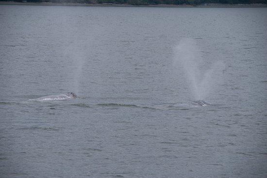 Puget Sound Express: Grey Whales