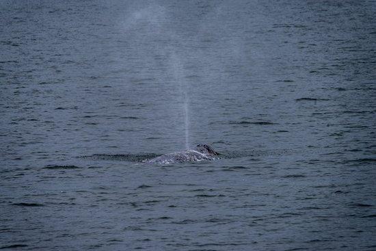 Puget Sound Express: Grey Whale