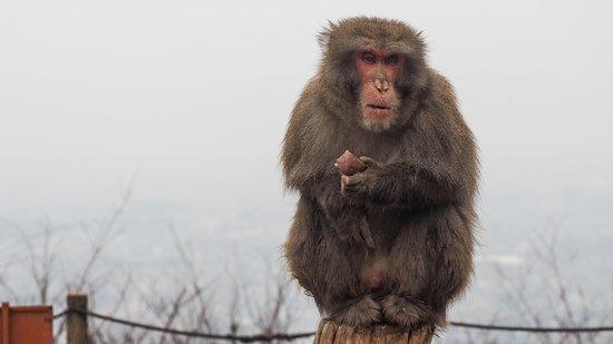 Monkey Park Iwatayama: monkey