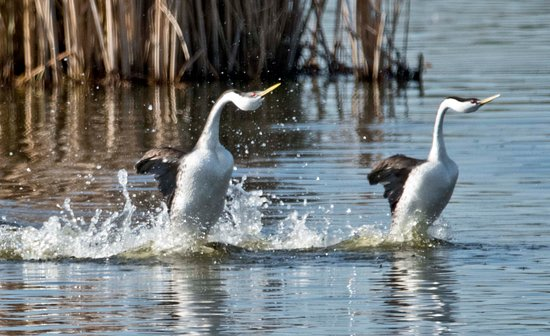 ‪‪Des Lacs National Wildlife Refuge‬: Western Grebe Mating Dance‬