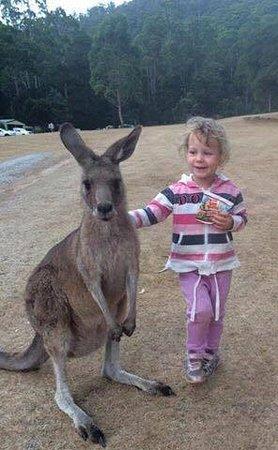 Gunns Plains, Australie : The kangaroo is a little bit bigger... just by an ear tip!