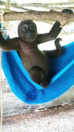 "Rainforest Awareness Rescue Education Center: ""Terk"" baby woolly"
