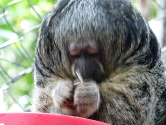 "Rainforest Awareness Rescue Education Center: ""Flor"" saki monkey"