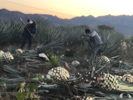Tequila, Mexico: Jima en vivo