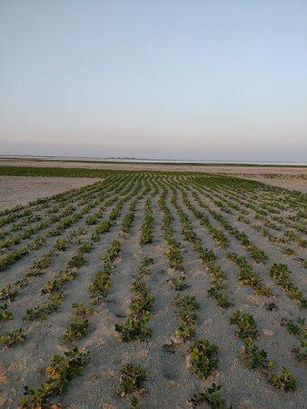 Marigaon, Inde : Peanut field on a river island in Bramhaputra