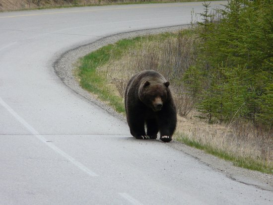 Bow Valley Parkway: We were the only car on the road and we met this Grizzly walking towards us.Thrilling!