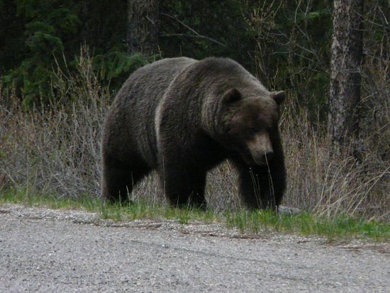Bow Valley Parkway: He walked by our car. It was a single line so he was only about 5 - 6m away