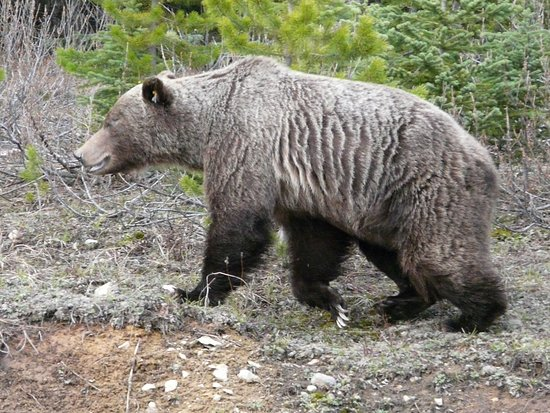 Bow Valley Parkway: This grizzly walked along side our car as we drove slowly