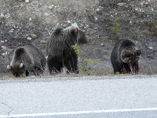 Bow Valley Parkway: Heart warming to see this mother and cubs