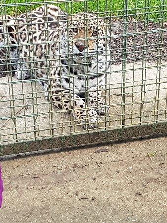 The Big Cat Sanctuary: Feisty jaguar