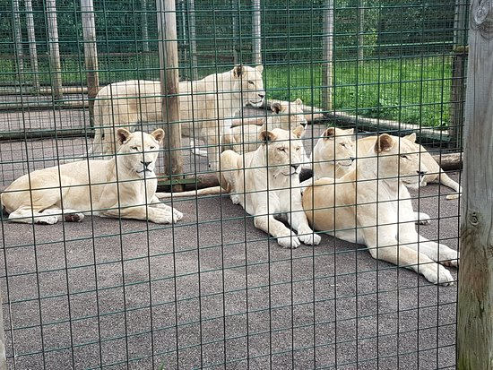 The Big Cat Sanctuary: I spy lunch coming..