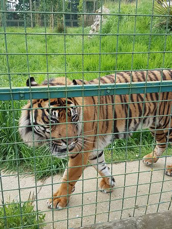 The Big Cat Sanctuary: Beautiful male