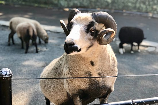 Staten Island Zoo: ram wanting to be fed