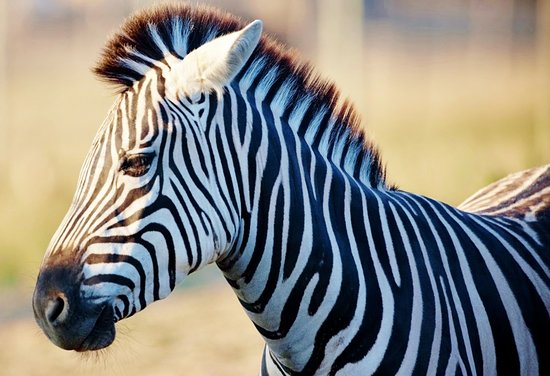 Port Clinton, OH: Zebras are one of the many animals found in the Drive-Thru!