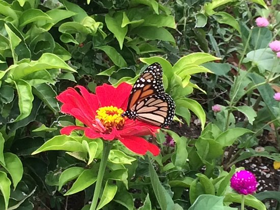 Andromeda Botanic Gardens: Monarch butterfly enjoying the Zinnias