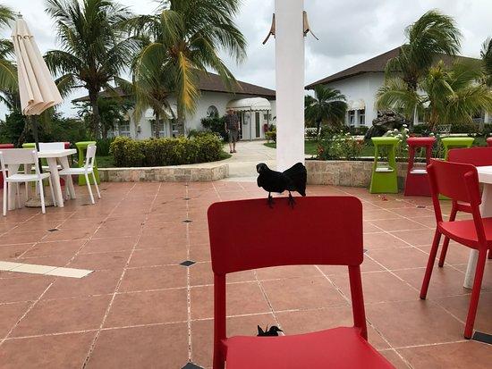 Memories Caribe Beach Resort: Ballsy birds at the snack bar