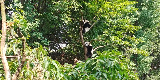 Πεκίνο, Κίνα: Panda Zoo