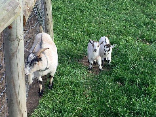 Manheim, PA: Adorable baby goats
